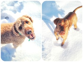 dogs, labradoodle, vizsla, thefirst2hours