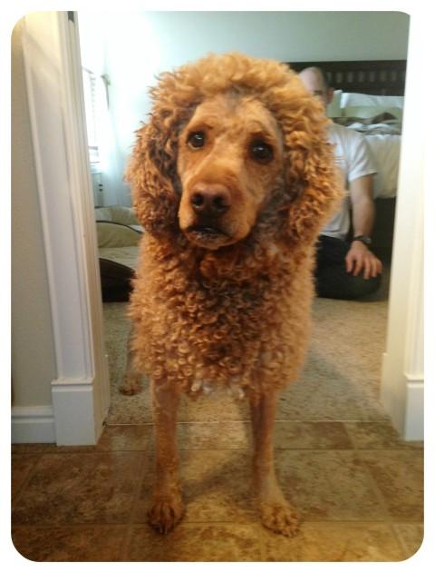 labradoodle, dog breeds, dog rescue, dog trim