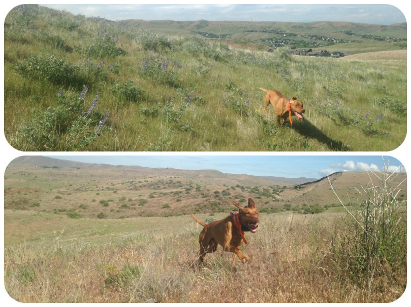vizsla, running, trail running, trails, ridge to rivers, dog, foothills, idaho, exercise